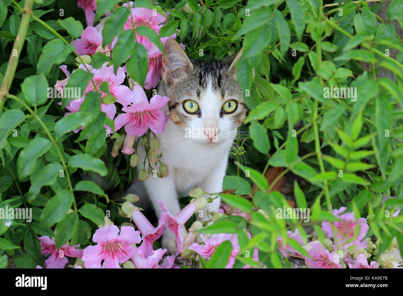 domestic cat, black tabby white, sitting between pink flowers Stock Photo