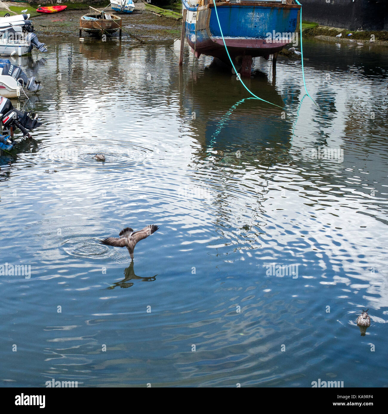 seagull diving into water trying to catch fish in cornish harbour - Stock Image