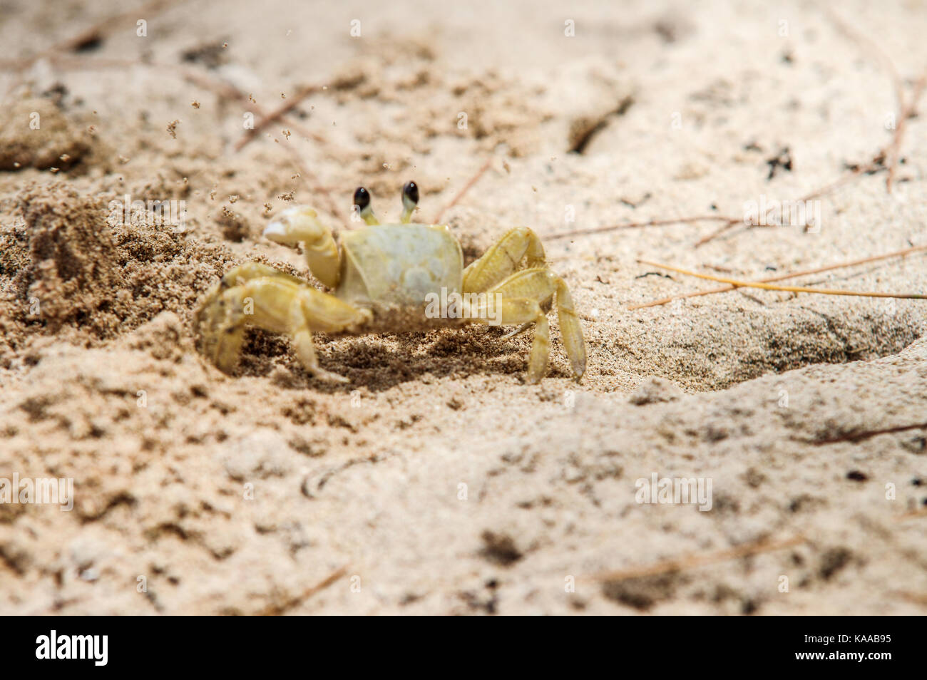 Ghost crab digging a hole in the sand on Bath beach on the east coast of Barbados - Stock Image