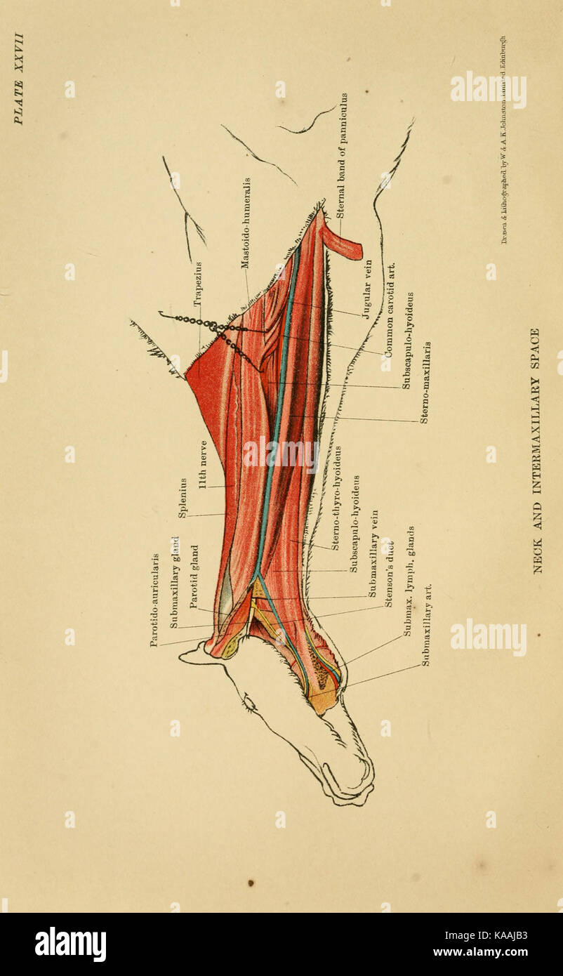 The anatomy of the horse BHL19829547 Stock Photo: 161273815 - Alamy