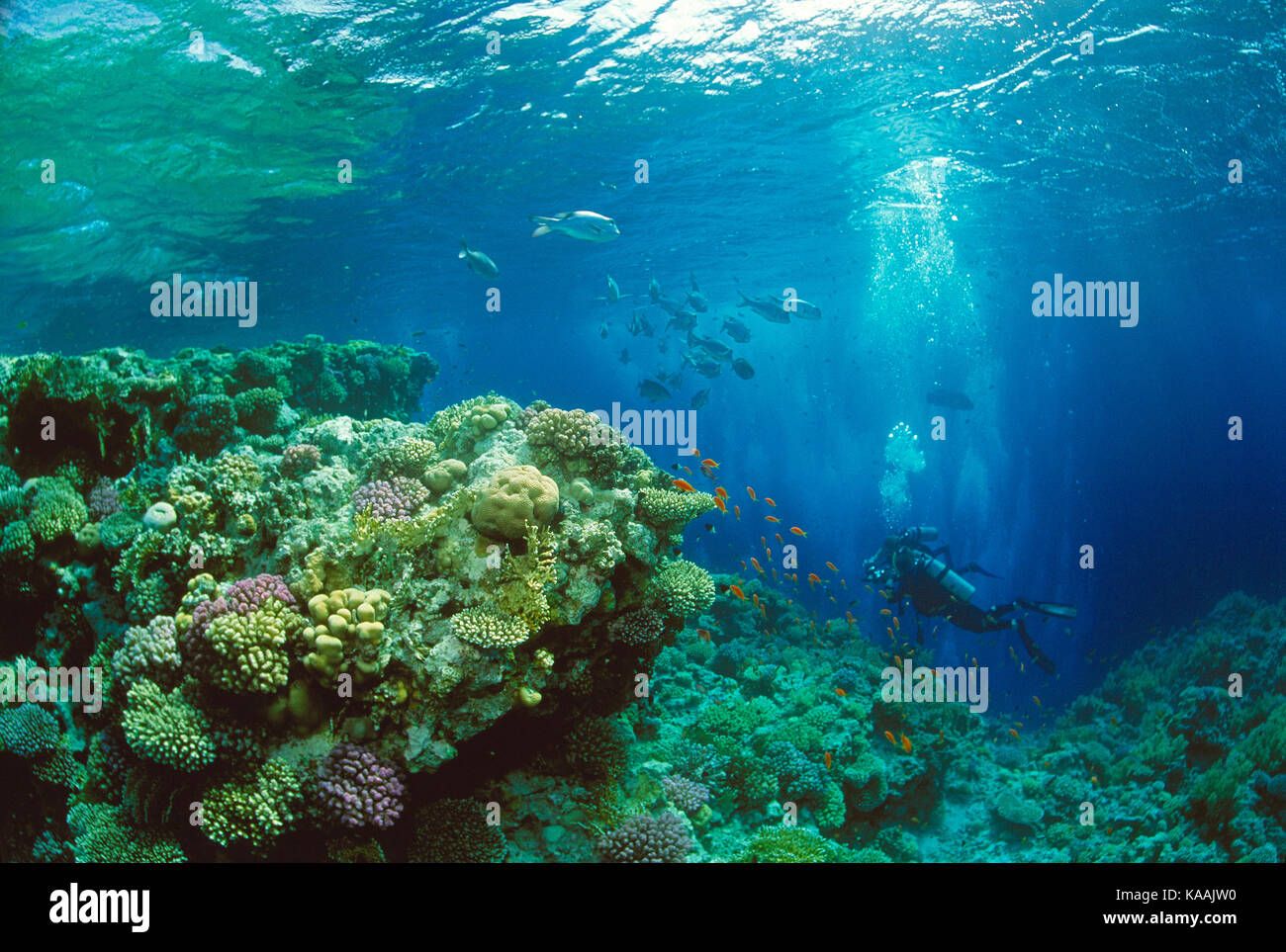 Egypt. Red Sea. Scuba diving. Diver over coral reef. - Stock Image