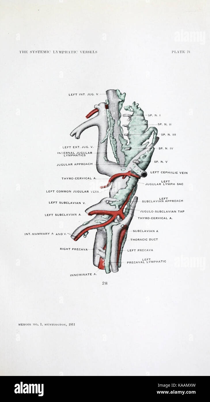 Line Drawing Anatomy Stock Photos & Line Drawing Anatomy Stock ...