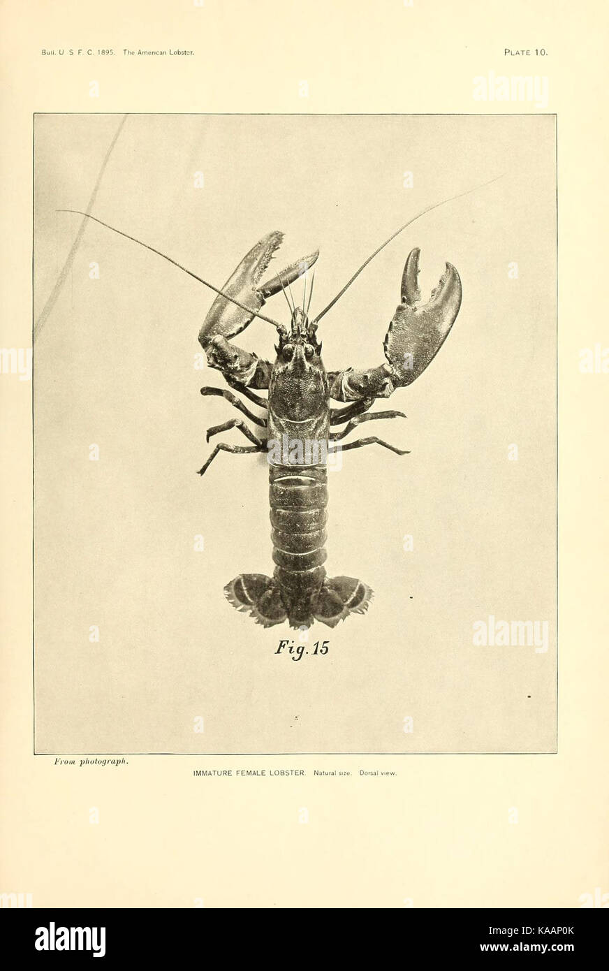 The American lobster (Plate 10) (6678743025) Stock Photo