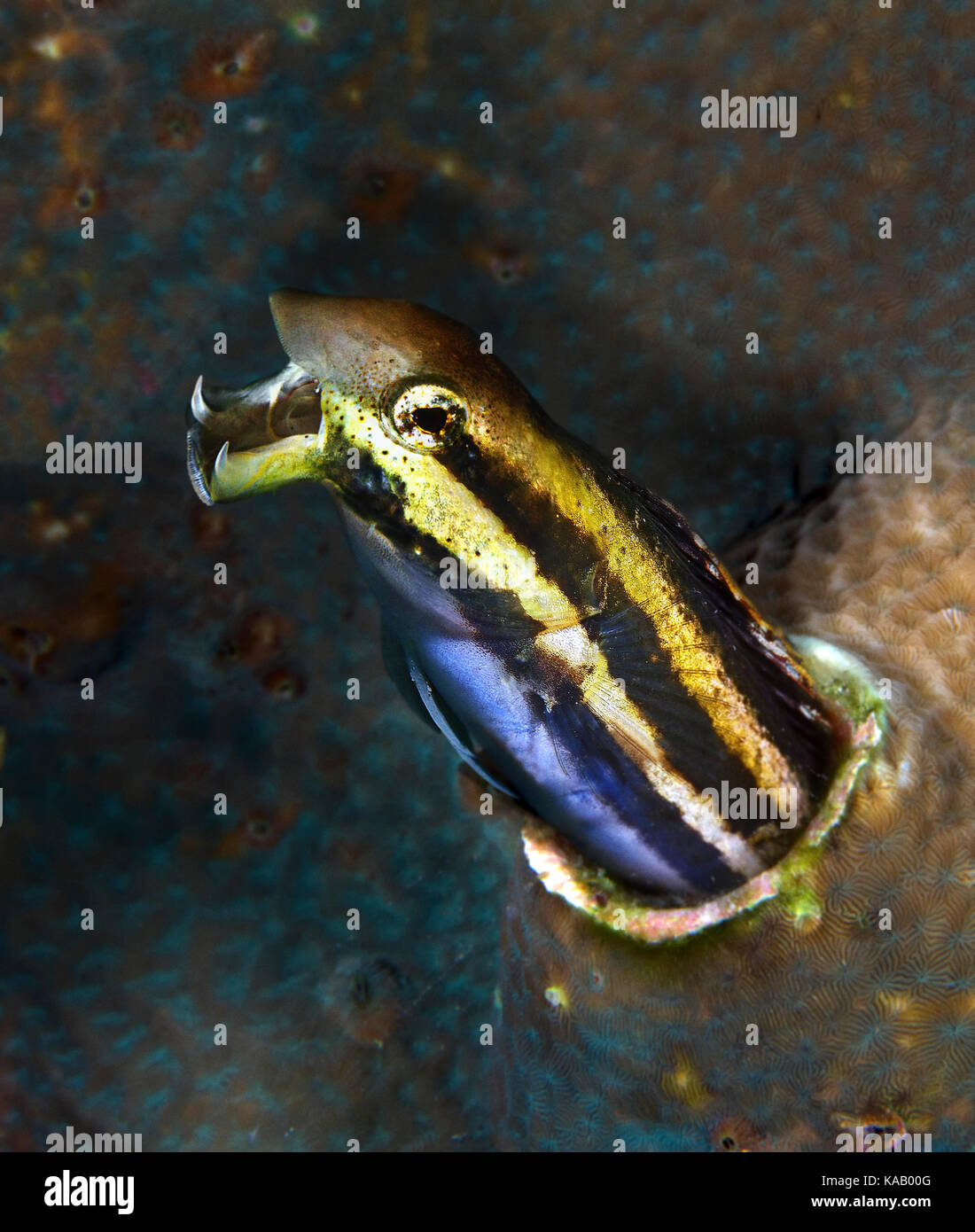 Striped poison-fang blenny, Meiacanthus grammistes. In an aggressive posture. - Stock Image