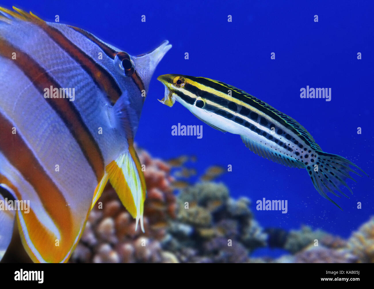 Striped poison-fang blenny, Meiacanthus grammistes. Intimidating a butterfly fish away from its territory. - Stock Image