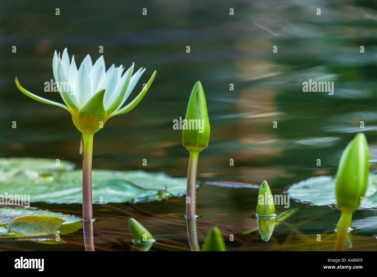 A close up of a water lily flower (Nymphaea sp.) in a water garden in New York City Central Park, New York. - Stock Image