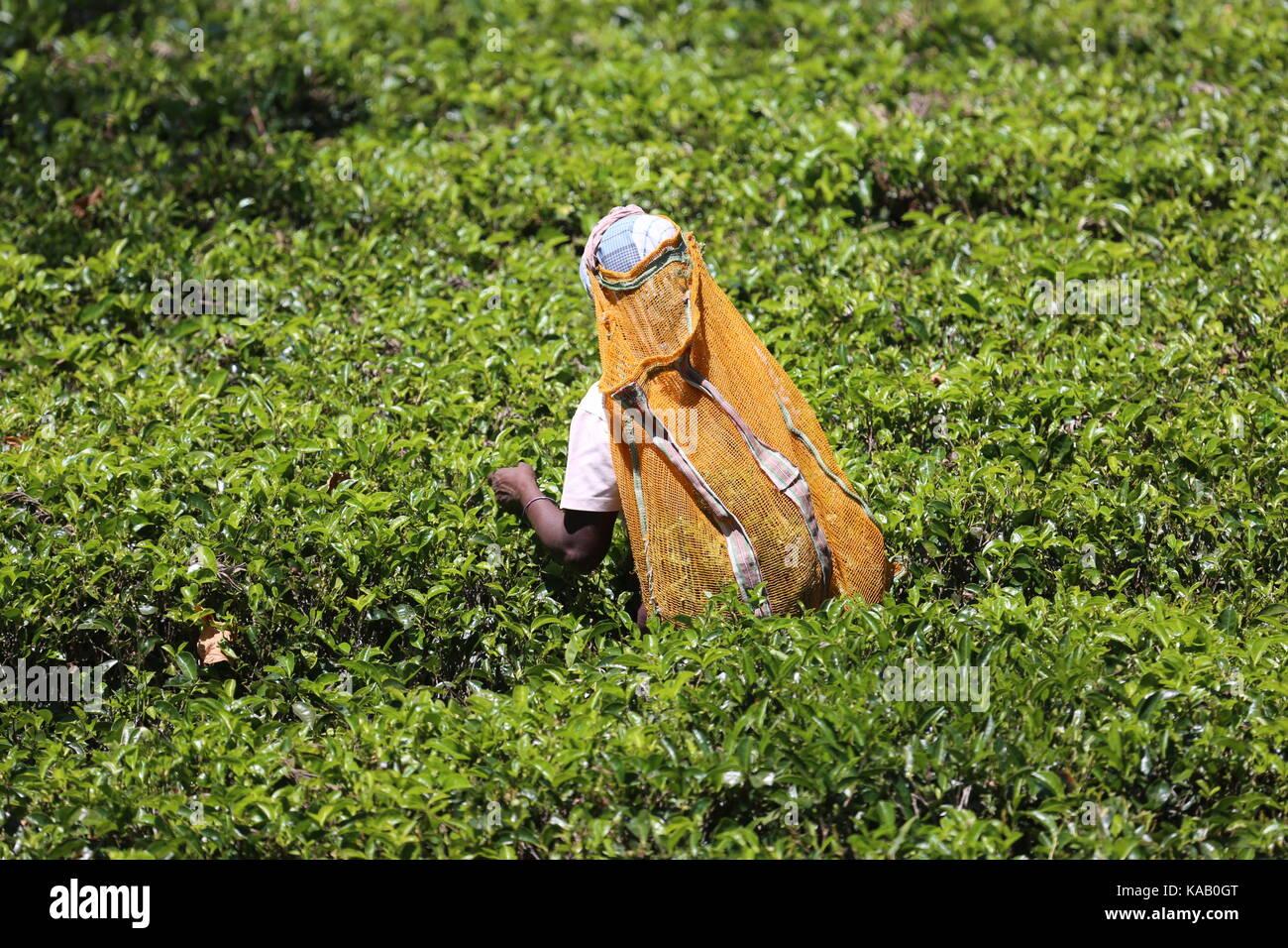 Teepflückerin auf den Plantagen in Sri Lanka Stock Photo