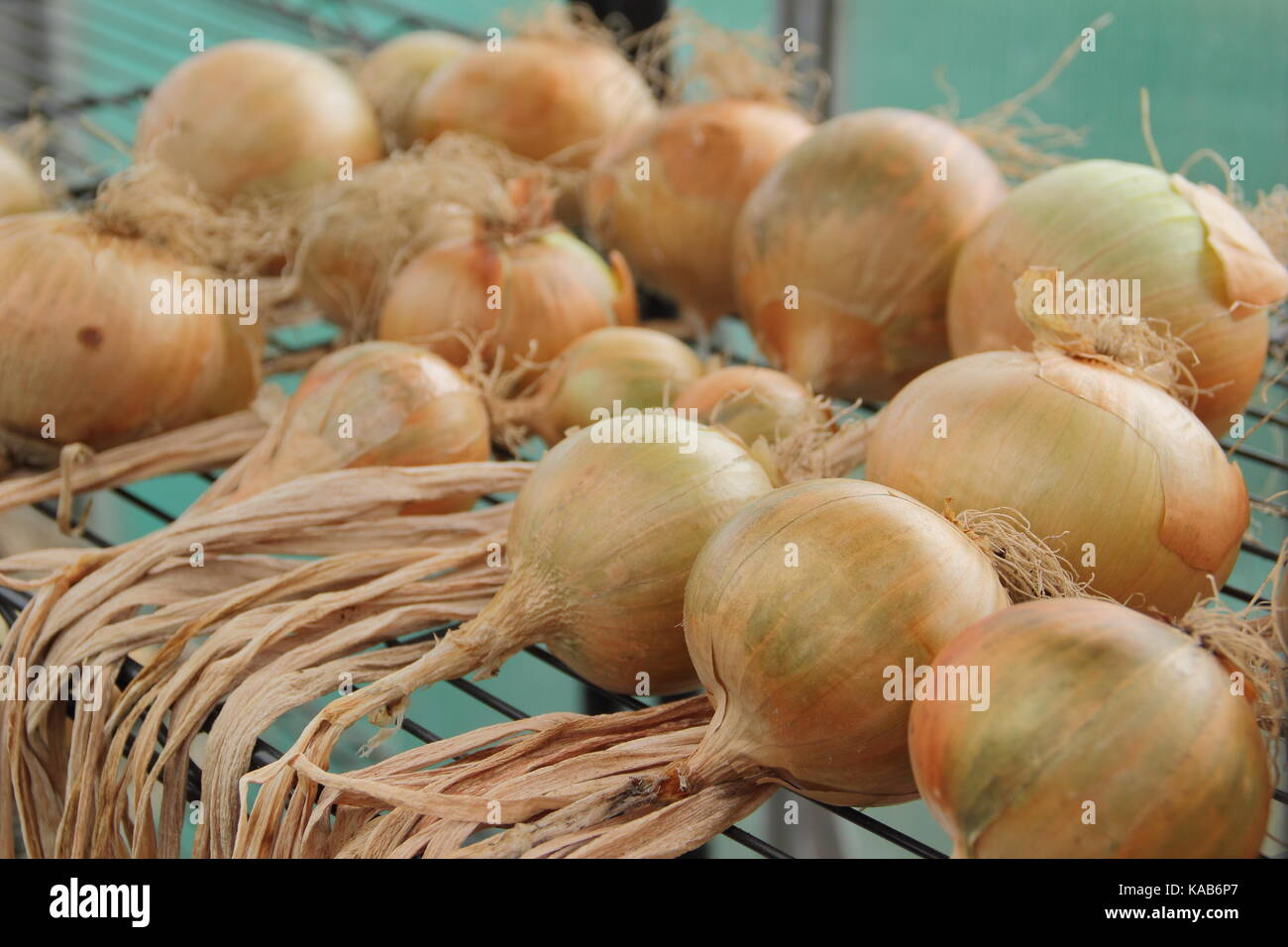 Freshly harvested home grown onions drying under cover on a storage rack that allows good air circulation and prevents - Stock Image