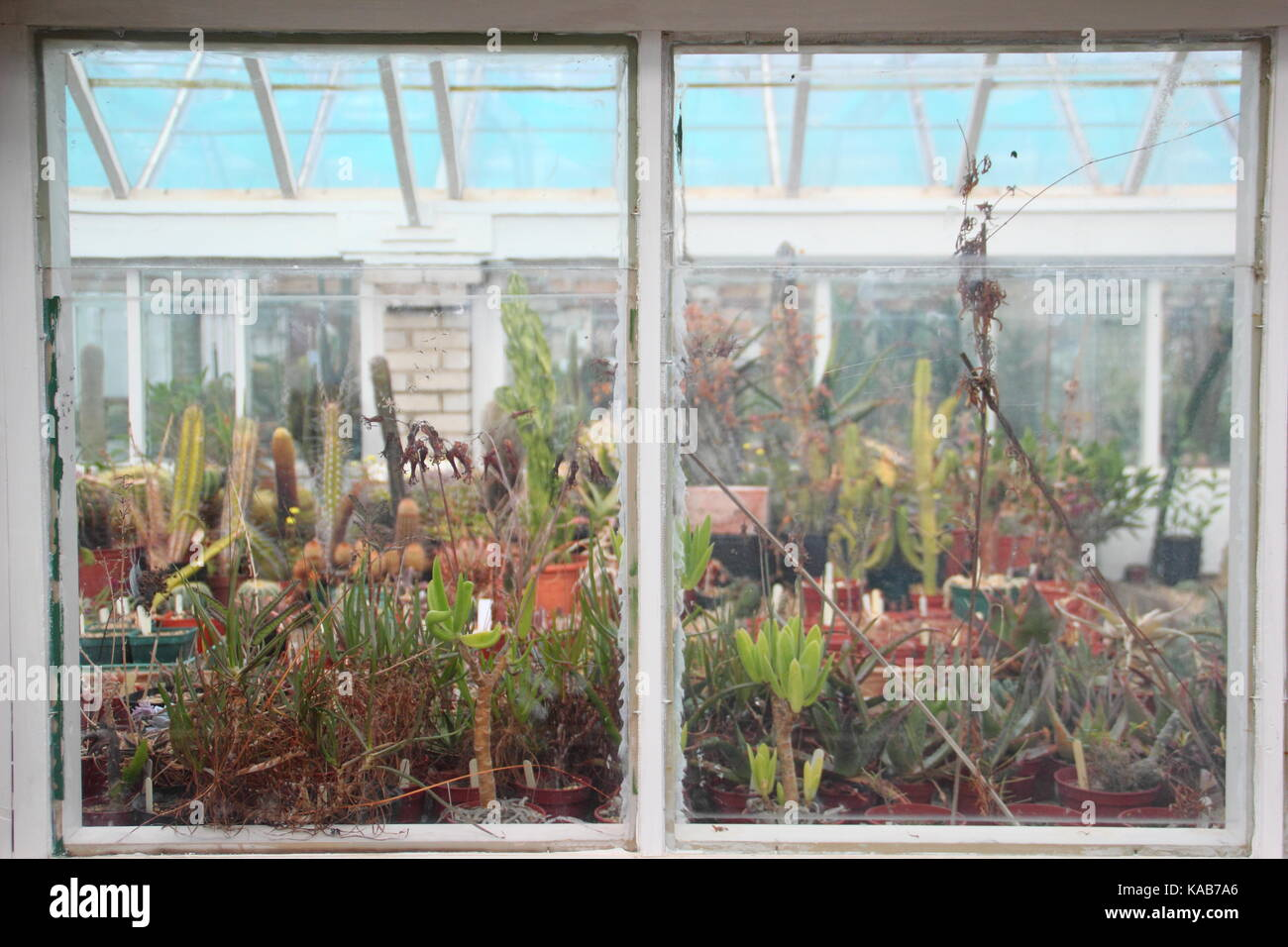 Cactus plant displays seen through interior windows of large greenhouses at Oak Dene, a specialist cactus nursery - Stock Image