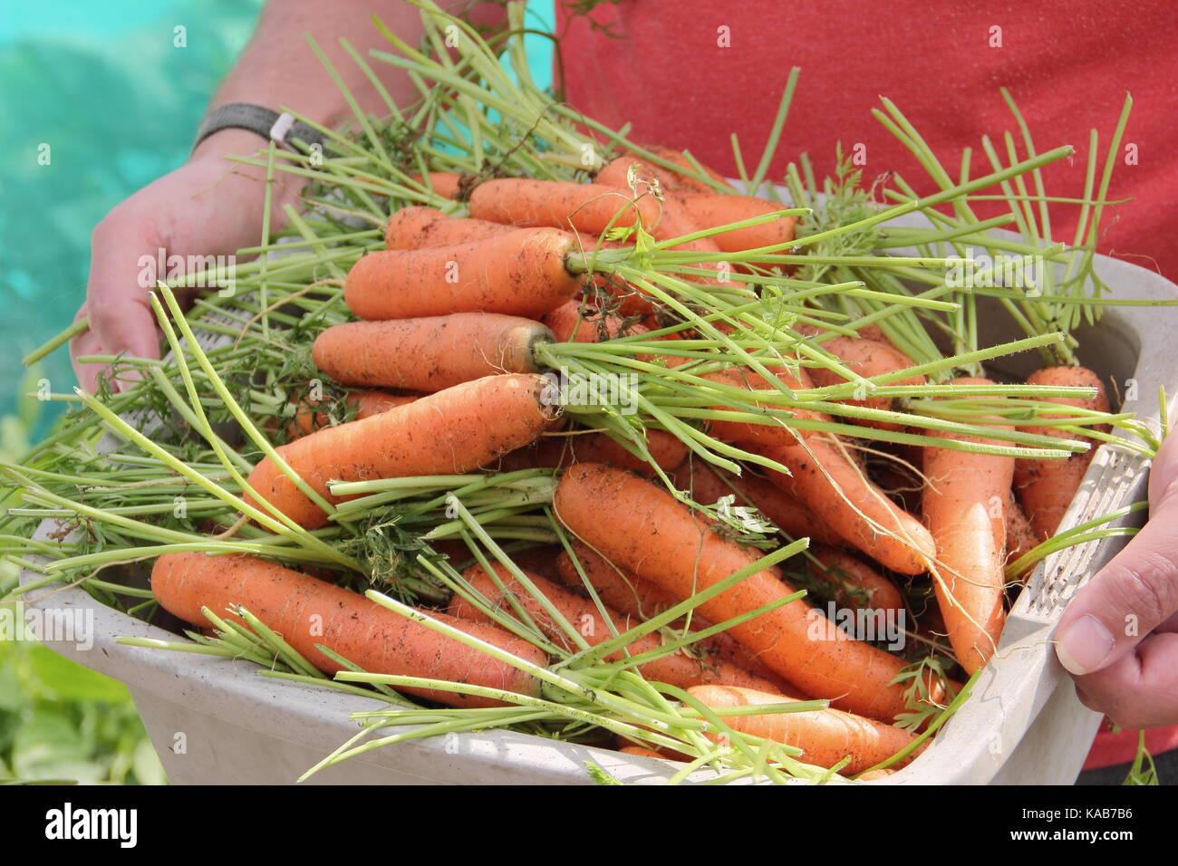 Freshly harvested home grown 'Nairobi' variety carrots are carried by a gardener through an allotment gardens - Stock Image