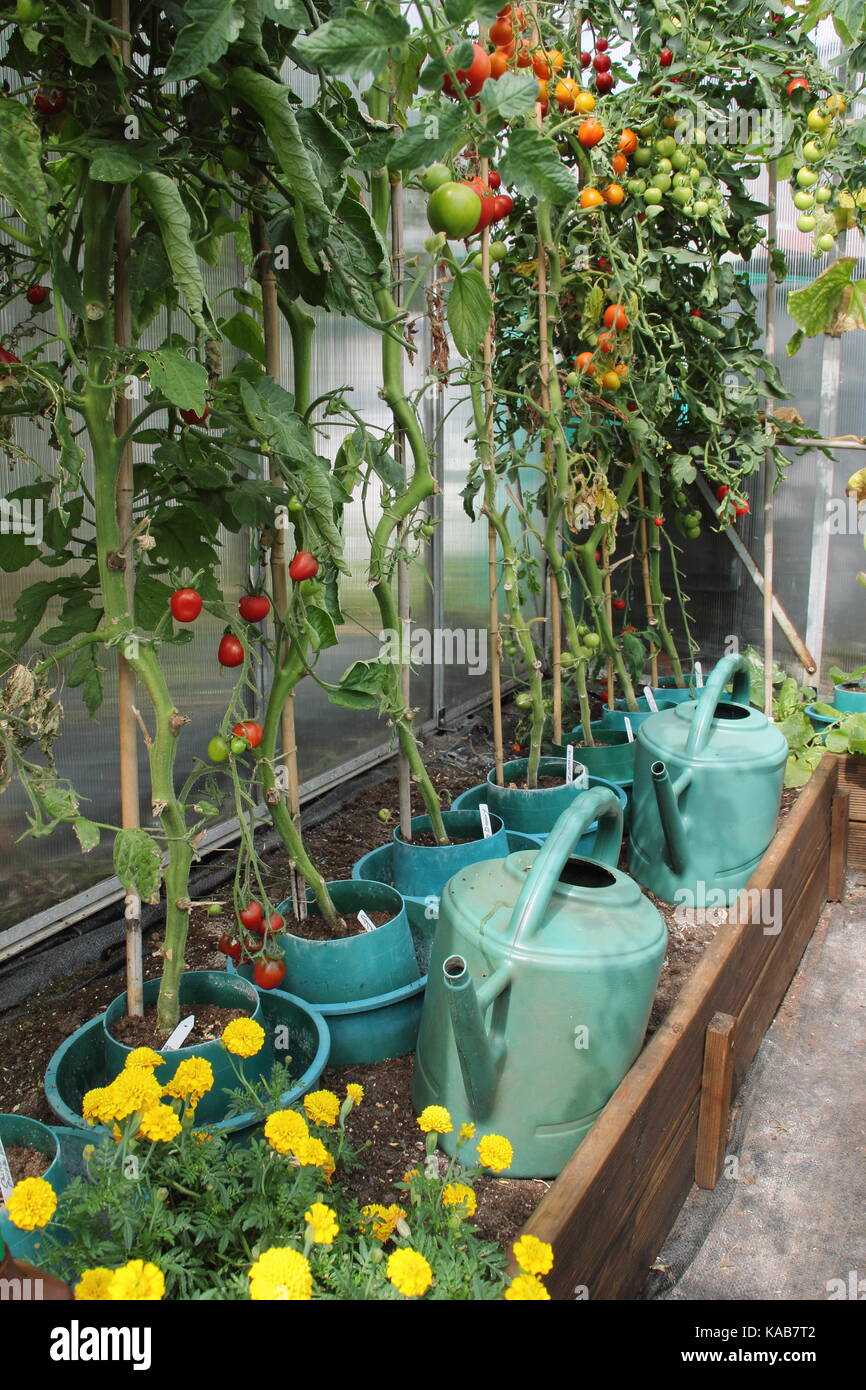 Tomato plants, stripped of their lower leaves to encourage a better harvest, growing in raised borders in a greenhouse Stock Photo