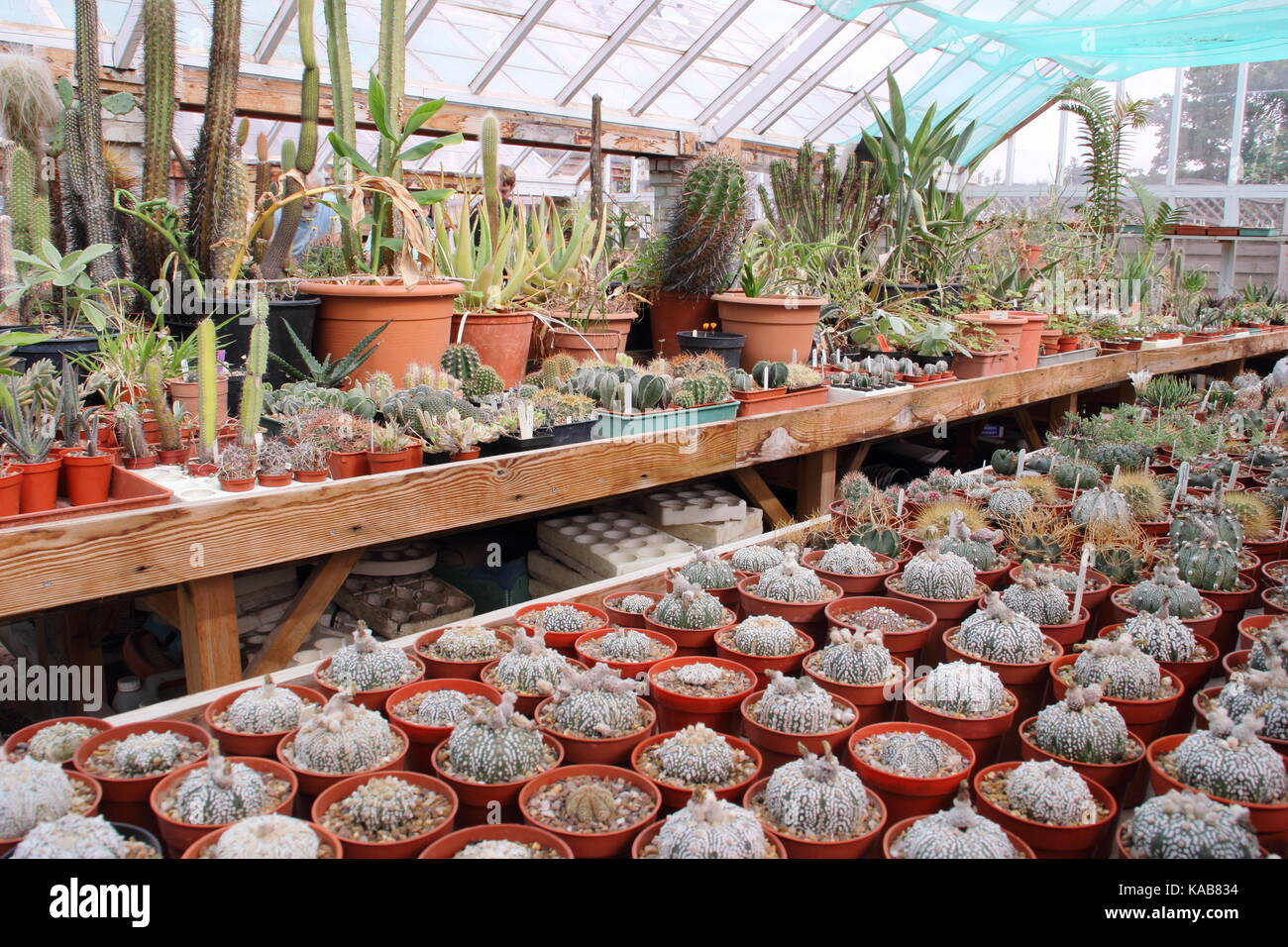 A private collection of cactus and plants on display alongside plants for sale in the large greenhouses at Oak Dene Stock Photo