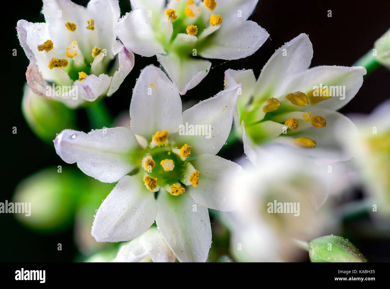 Beautiful White Petals Flowers With Yellow And Green Center Showing