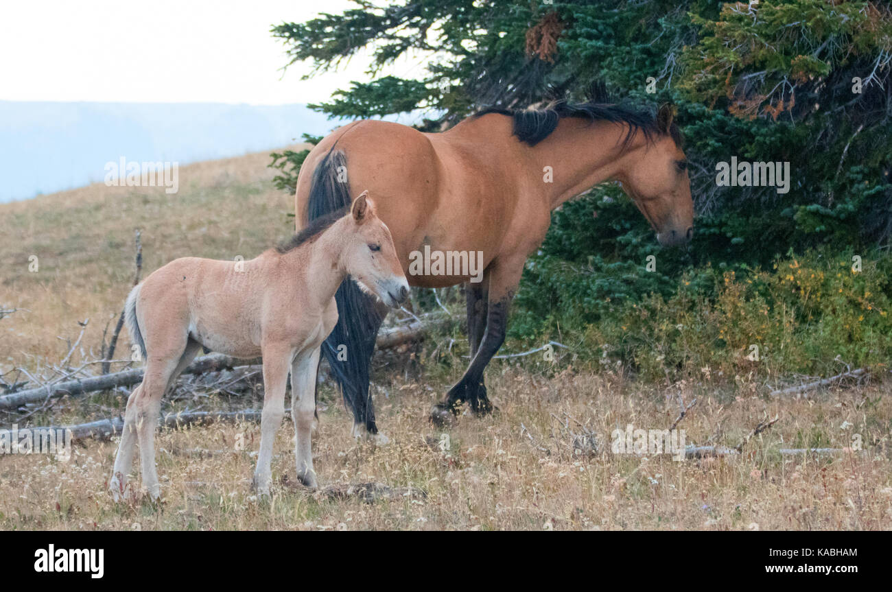 Baby Foal Colt Wild Horse Mustang With His Mother In The Pryor Stock Photo Alamy