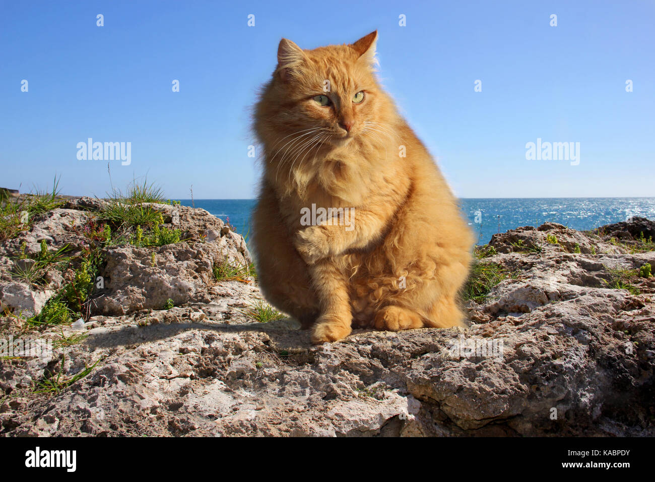 domestic cat, ginger, longhaired hybrid, sitting on a rock at the mediterranian sea Stock Photo