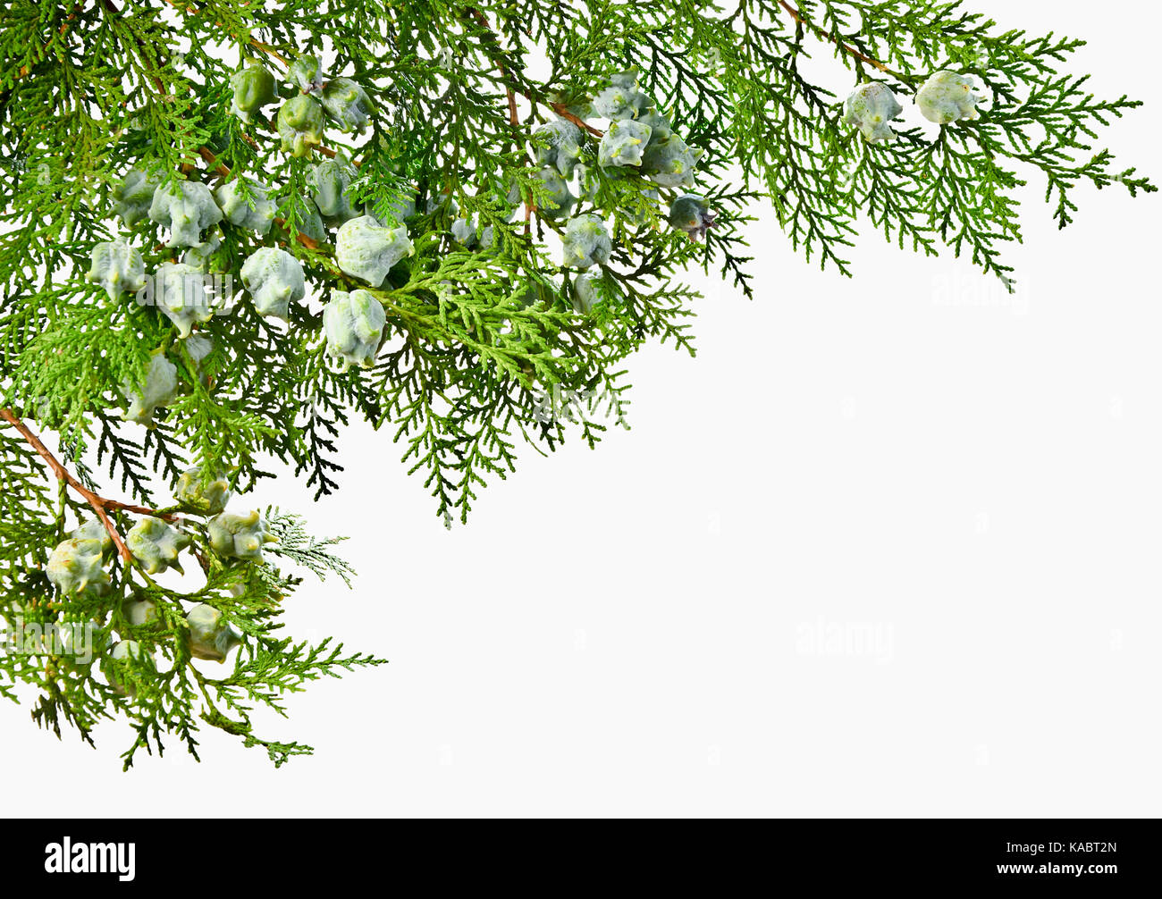 Thuja twig with fruit on a white background. Green Thuja twig with unripe fruit. - Stock Image