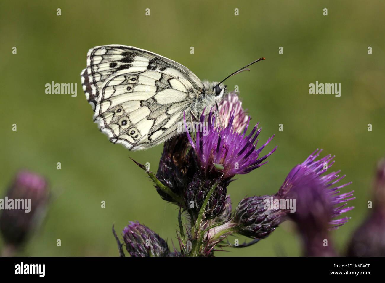 Marbled White Butterfly, Melanargia galathea, male underside - Stock Image