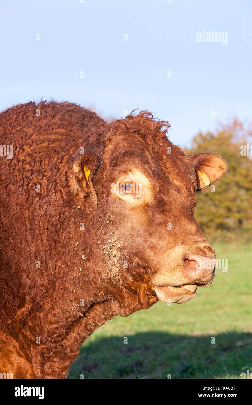 Limousin beef bull head portrait in a pasture in evening light in a close up view. - Stock Image