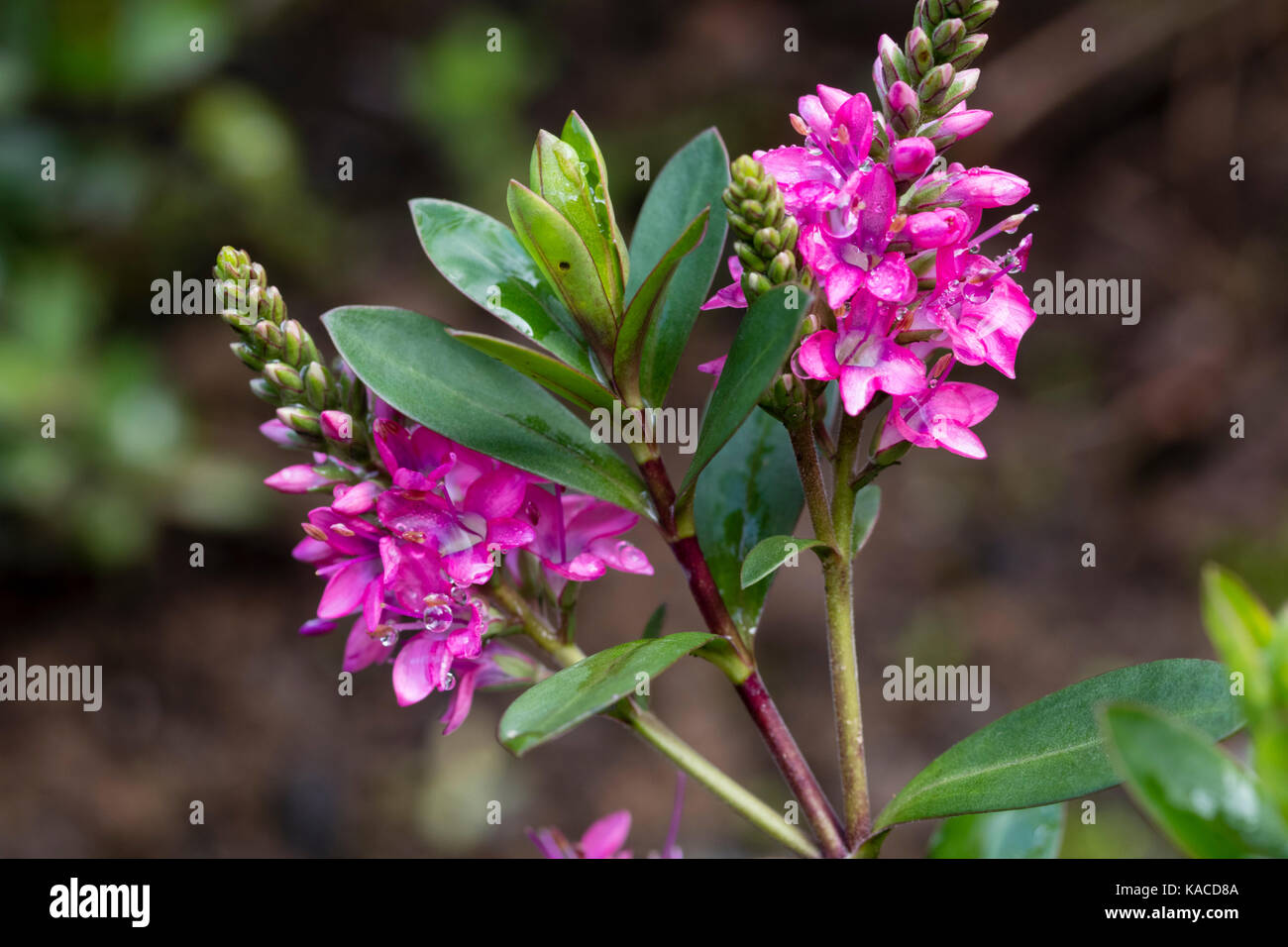 Pink Flowers Of The Small Evergreen Shrub Hebe Pink Paradise