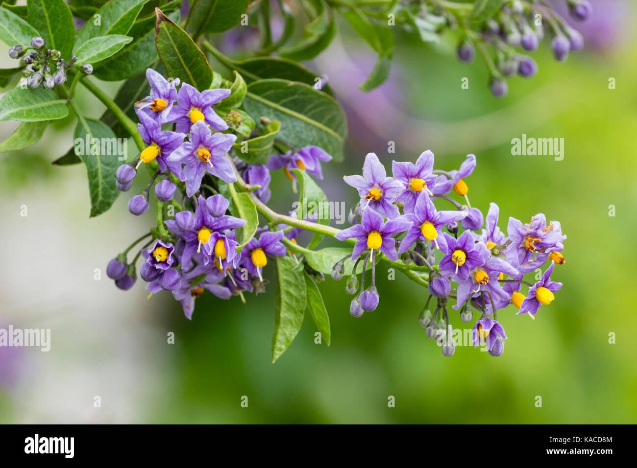 Purple Flowers Of The Climbing Potato Vine Solanum Crispum Stock