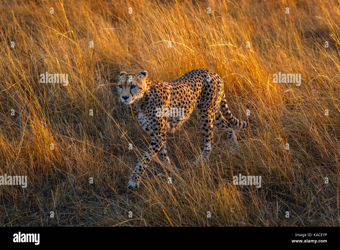 Adult cheetah (Acinonyx jubatus), Masai Mara, Kenya on the prowl walking stealthily through long grass in savannah - Stock Image