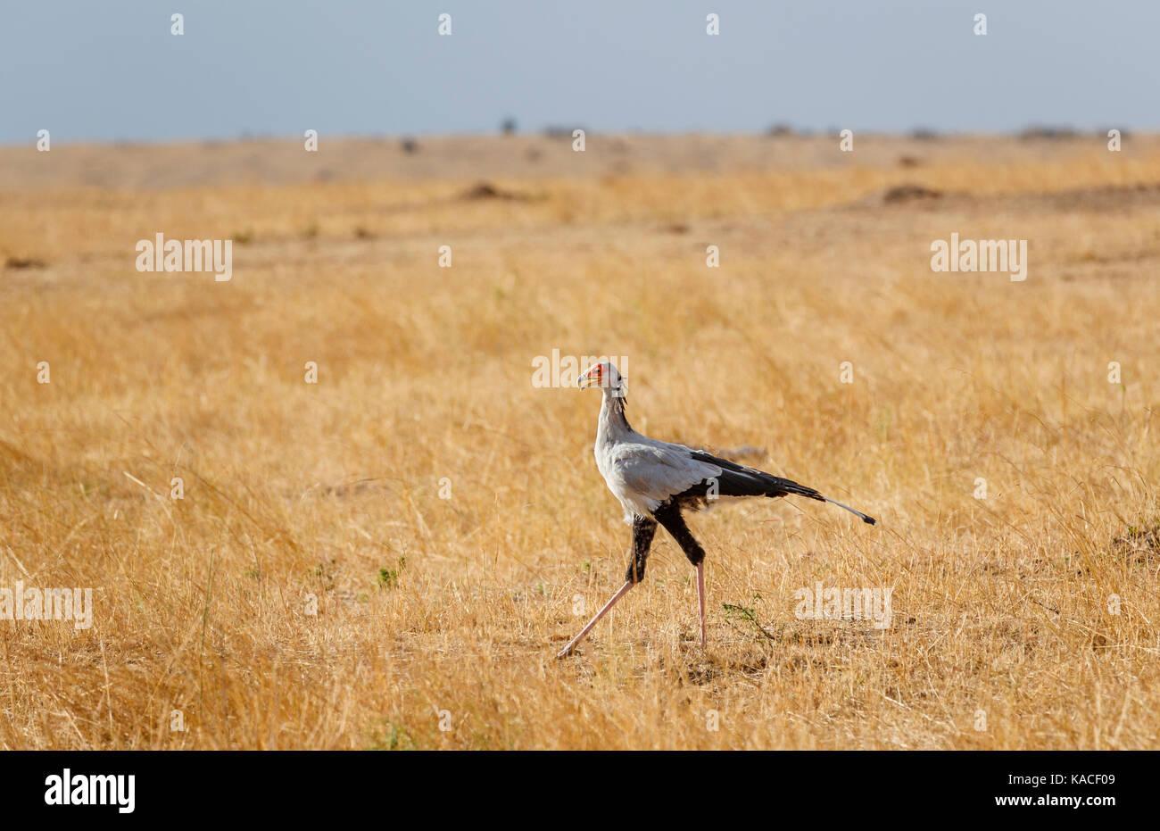 Sagittarius serpentarius, secretarybird, an unusual tall bird of prey standing in savannah grassland, Masai Mara, Stock Photo