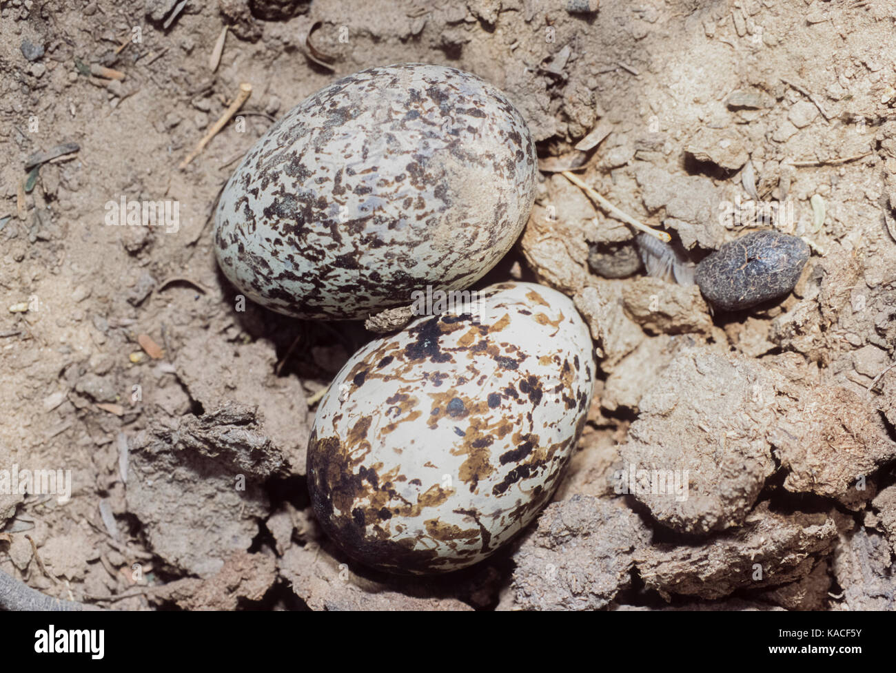 Two eggs in nest scrape belonging to Indian Stone-Curlew or Indian Thick-Knee, (Burhinus indicus), Keoladeo Ghana - Stock Image