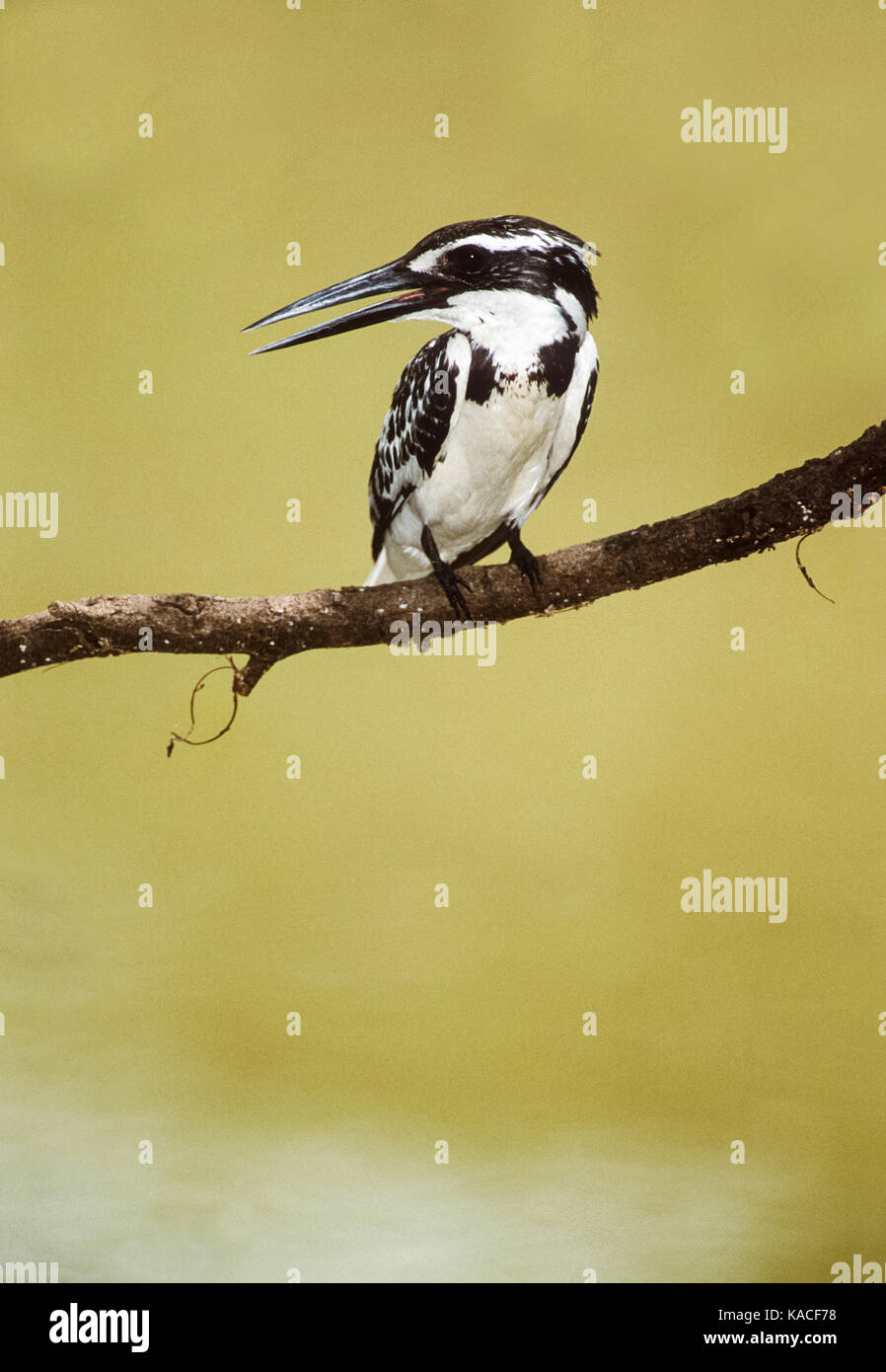 Pied Kingfisher, (Ceryle rudis), Keoladeo Ghana National Park, Bharatpur, Rajasthan, India - Stock Image