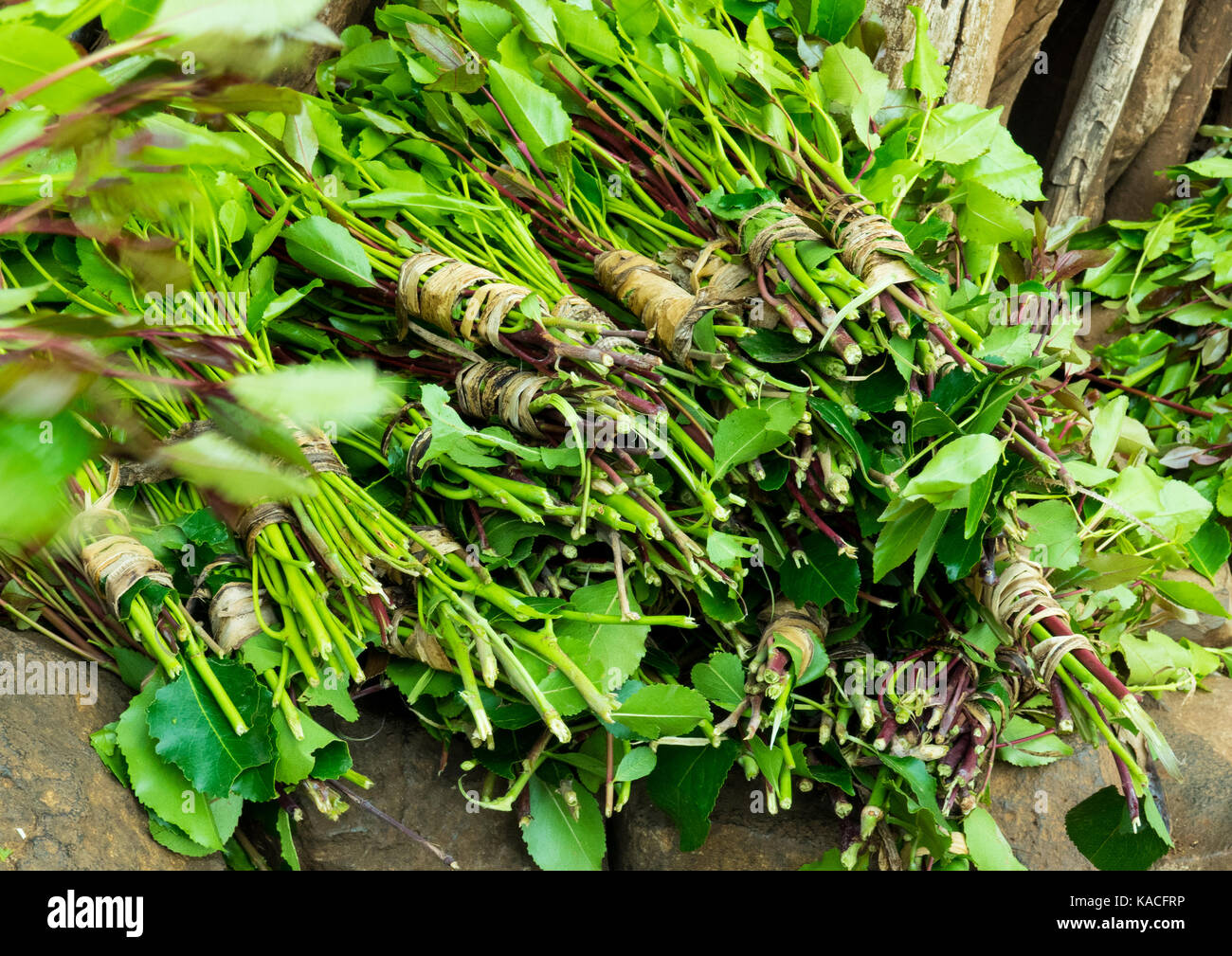 Khat leaves prepared for selling at the market, Konso, Omo valley, Ethiopia - Stock Image