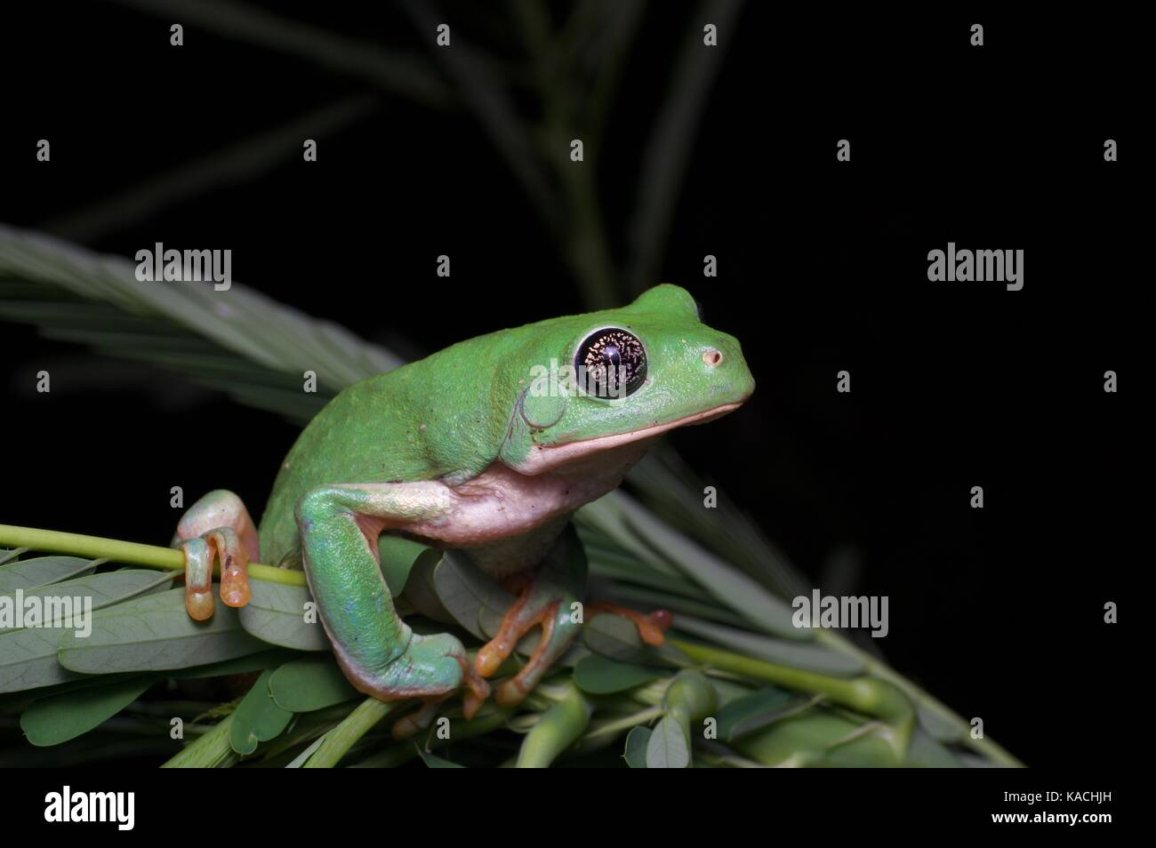 A Mexican Leaf Frog (Pachymedusa dacnicolor) perched on a small plant near Alamos, Sonora, Mexico - Stock Image