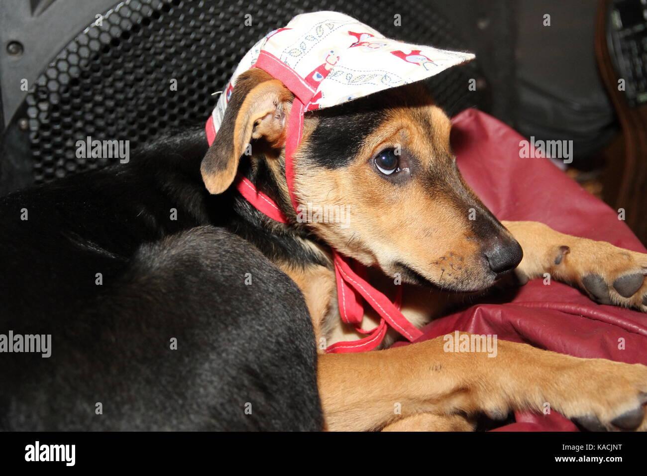 cachorro con expresion en la cara y gorro - Stock Image