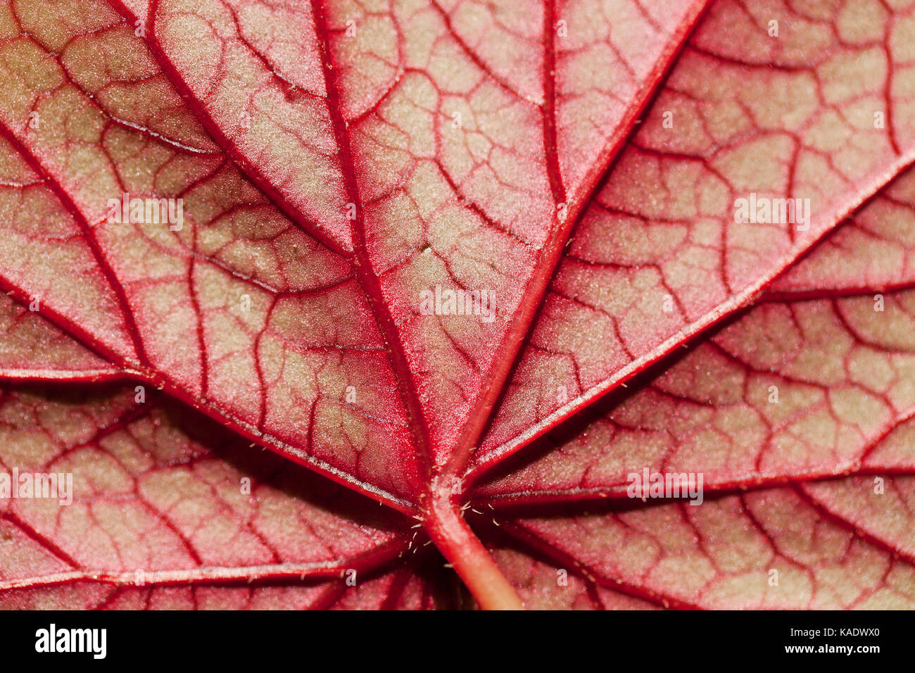 Underside of Hardy begonia leaf showing lateral veins and sublateral veins - Stock Image