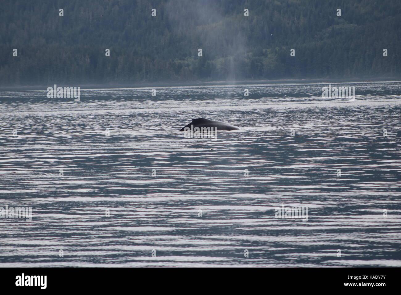 Humpback Whale British Columbia - Stock Image