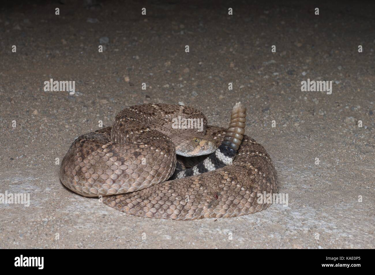 A Western Diamond-backed Rattlesnake (Crotalus atrox) coiled on a dirt road at night in southern Arizona, USA Stock Photo