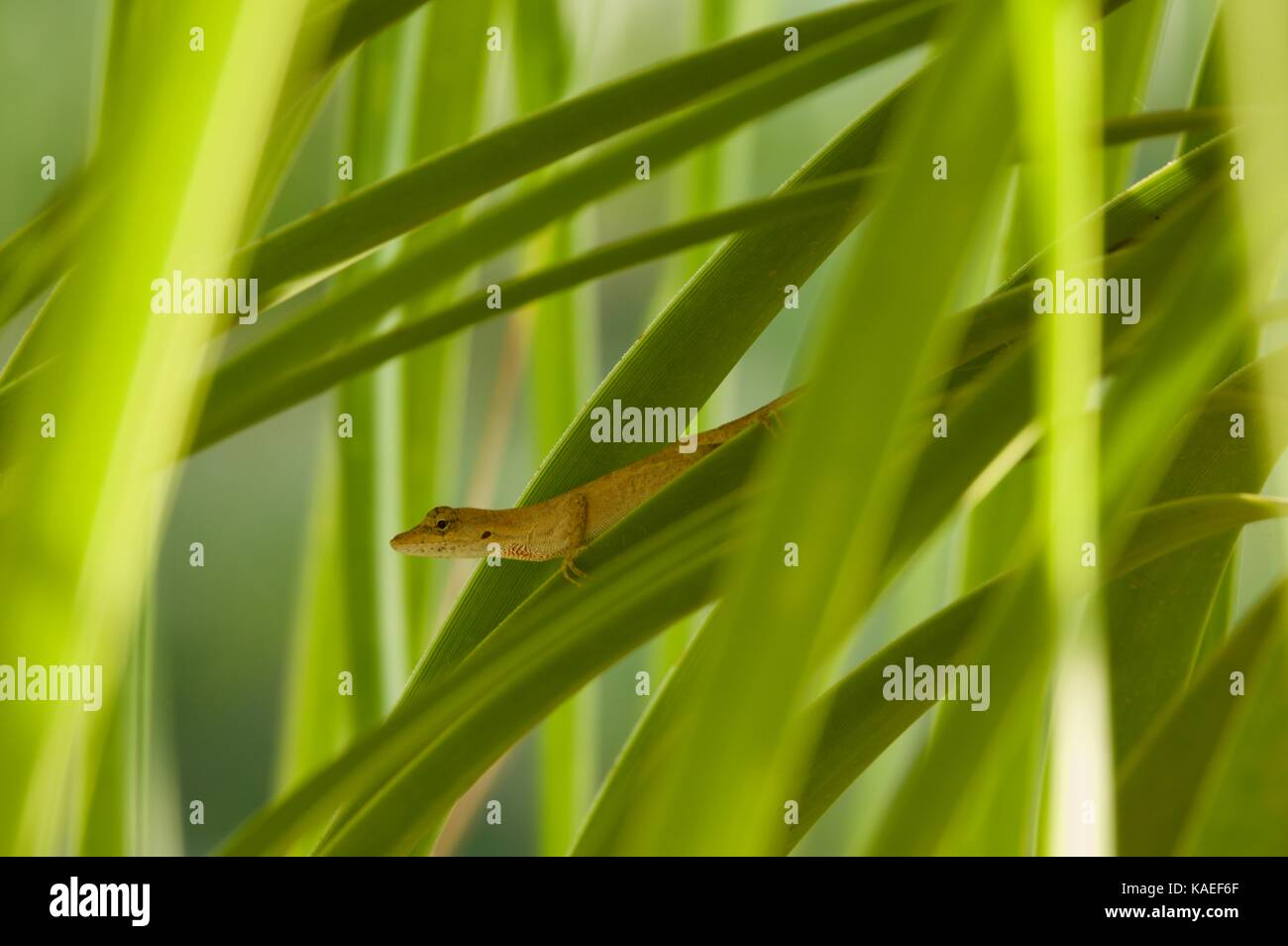 A Clouded Anole (Anolis nebulosus) perched in vegetation in Alamos, Sonora, Mexico - Stock Image