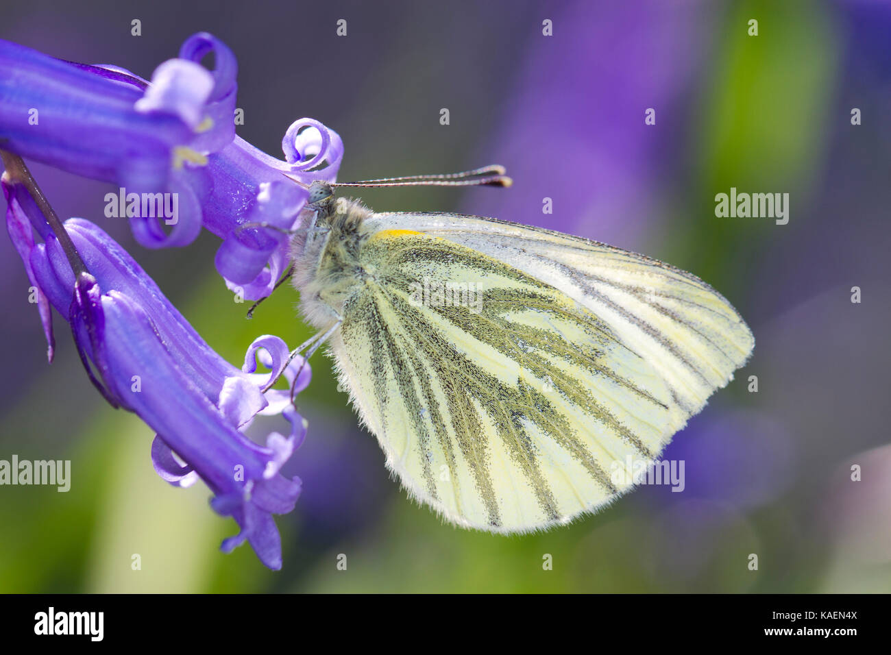 Green-veined White (Pieris napi) adult butterfly feeding on Bluebell (Hyacinthoides non-scripta) flowers. Powys, - Stock Image