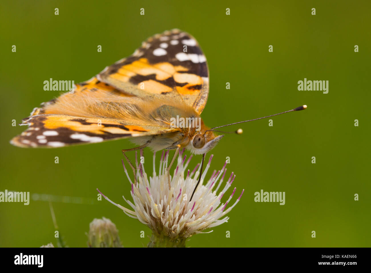 Painted Lady (Vanessa cardui) adult butterfly feeding on a thistle flower. Powys, Wales. June. - Stock Image