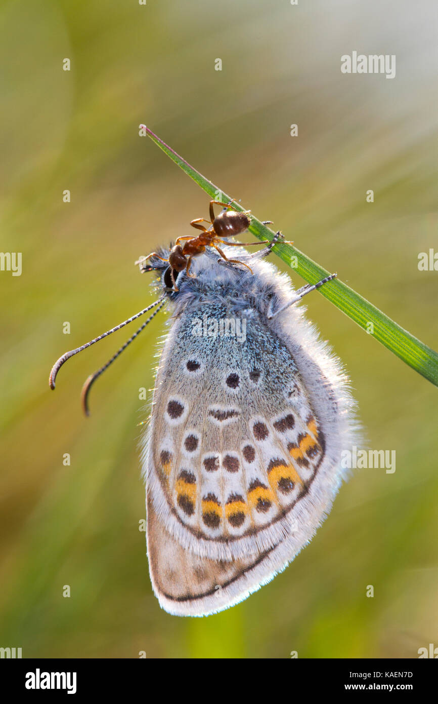 Silver-studded blue (Plebejus argus) adult male butterfly newly emerged being tended by an ant (Lasius platythorax). - Stock Image