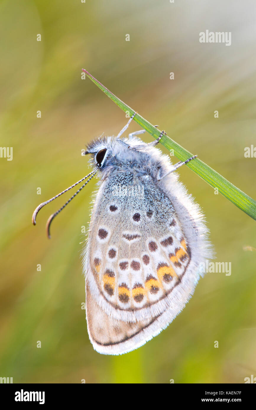 Silver-studded blue (Plebejus argus) adult male butterfly newly emerged. Sussex, England. June. - Stock Image
