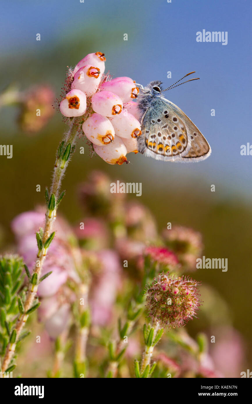 Silver-studded blue (Plebejus argus) adult male butterfly newly emerged on Cross-leaved heath (Erica tetralix). - Stock Image