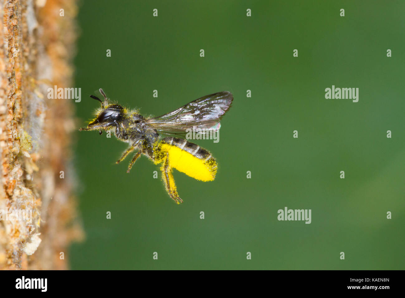 Large Scissor-bee (Chelostoma florisomne) in flight at entrance of nest hole with a load of pollen. Powys, Wales. - Stock Image