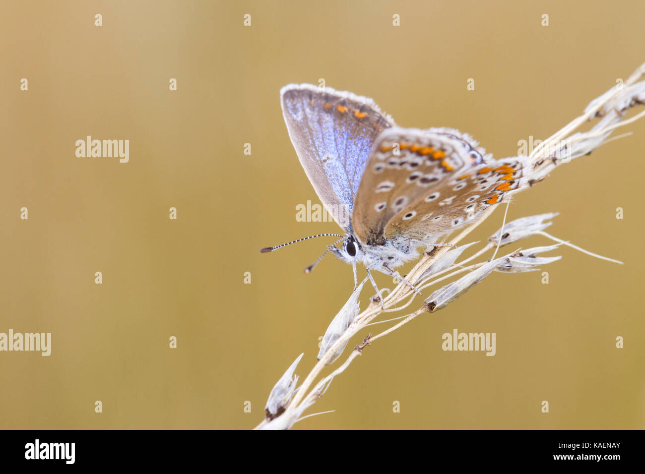 Common Blue butterfly (Polyommatus icarus) adult female resing on grass seedhead. Suffolk, England. July. - Stock Image