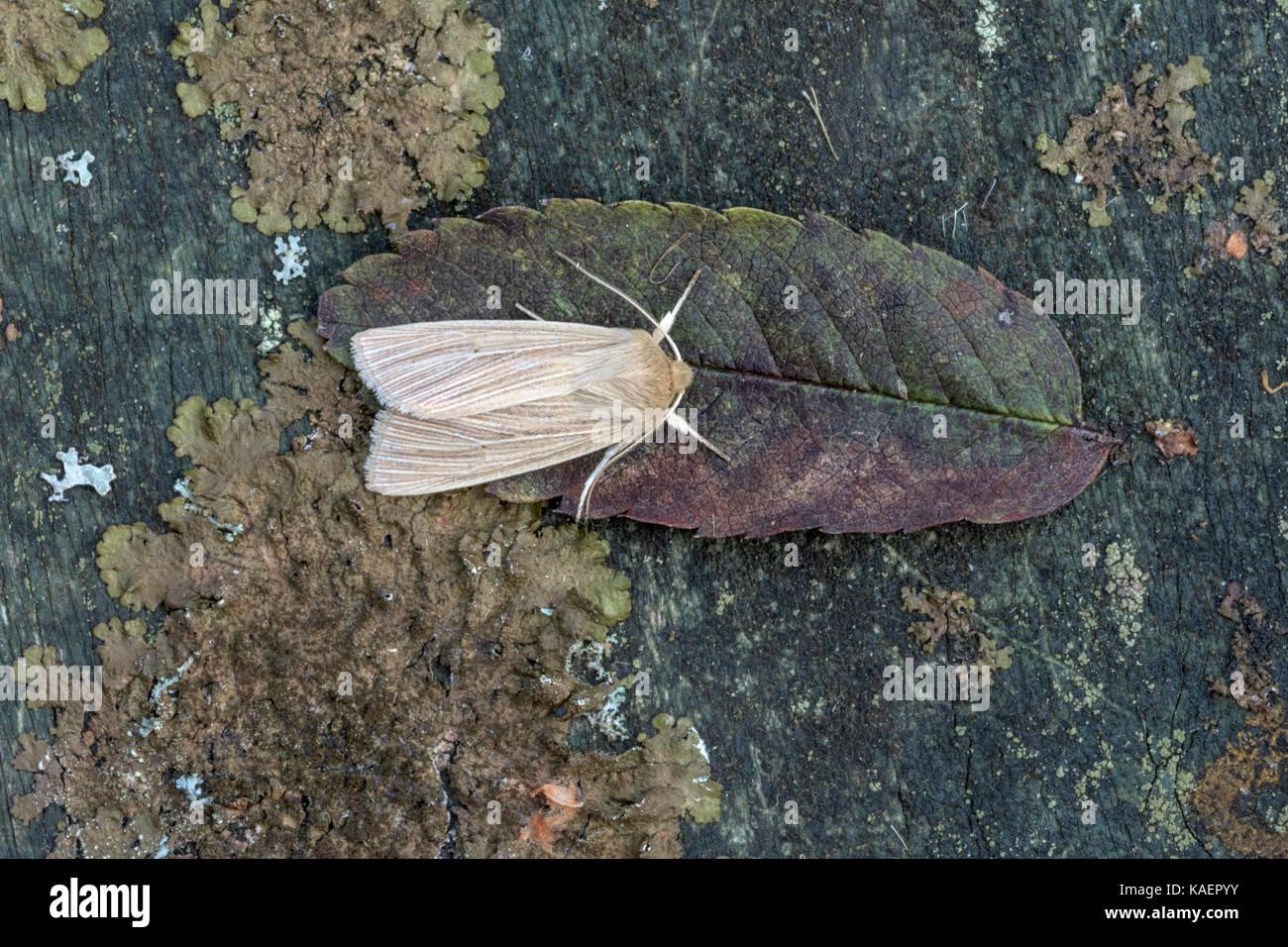Moth Species resting on a dead leaf in Norfiolk. - Stock Image