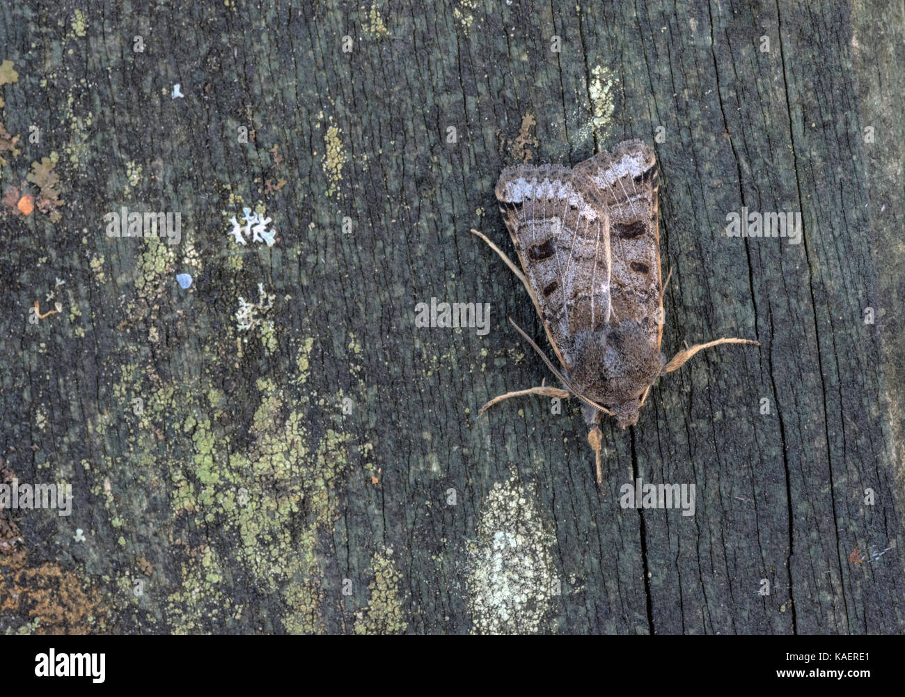 Lunar Underwing moth species resting on wood. Stock Photo