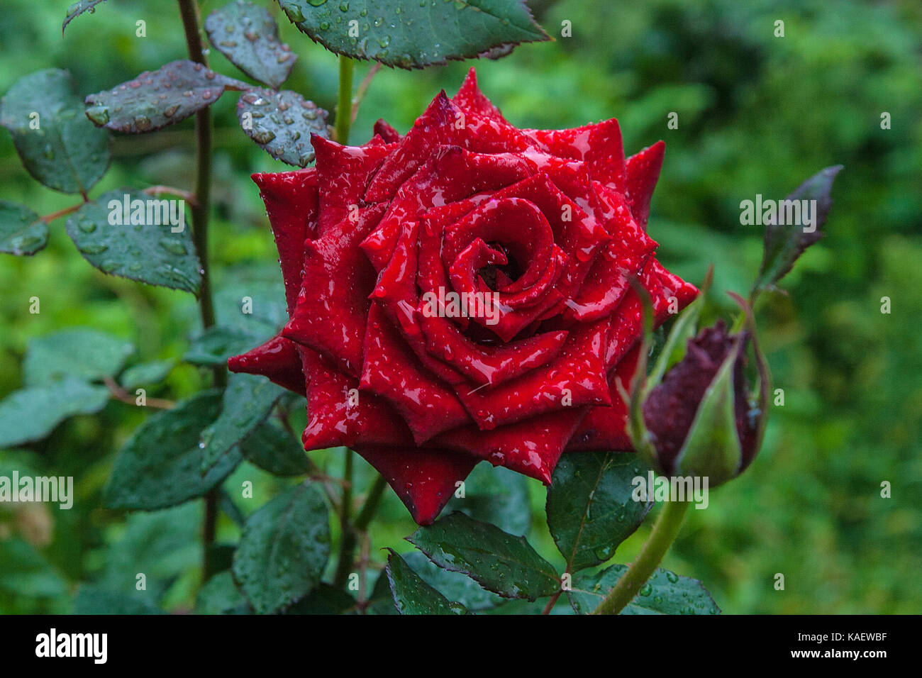 Beautiful red rose among green leaves of the plant close up view of beautiful red rose among green leaves of the plant close up view of rose flowers on rose bush with water drops in flower garden at the morning after izmirmasajfo