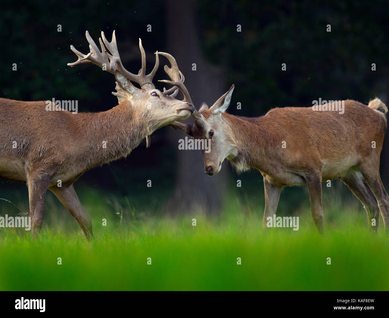 Stags Head Stock Photos Amp Stags Head Stock Images Alamy