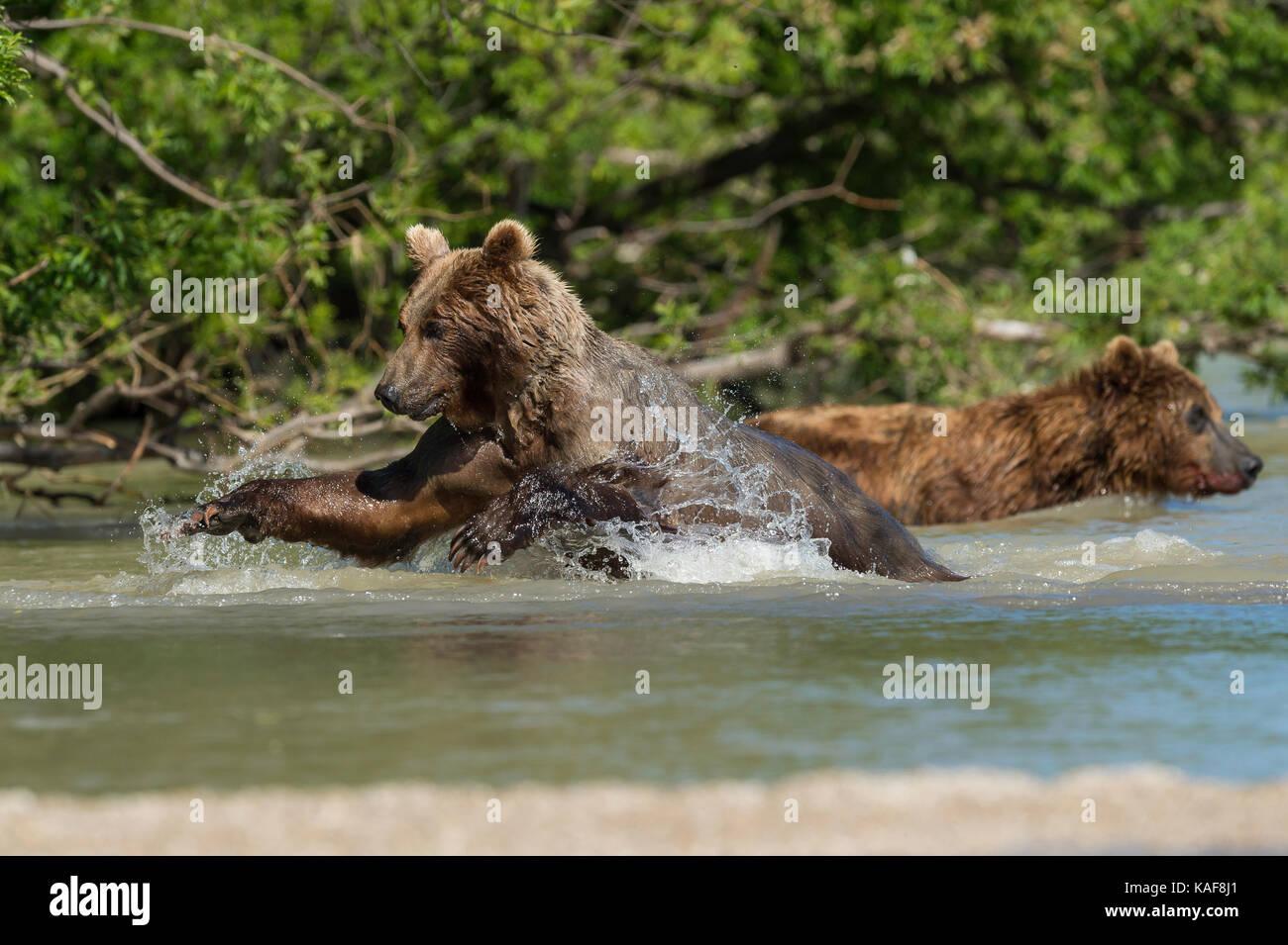 Brown bear pouncing on sockeye salmon, Kamchatka, Russia. Stock Photo