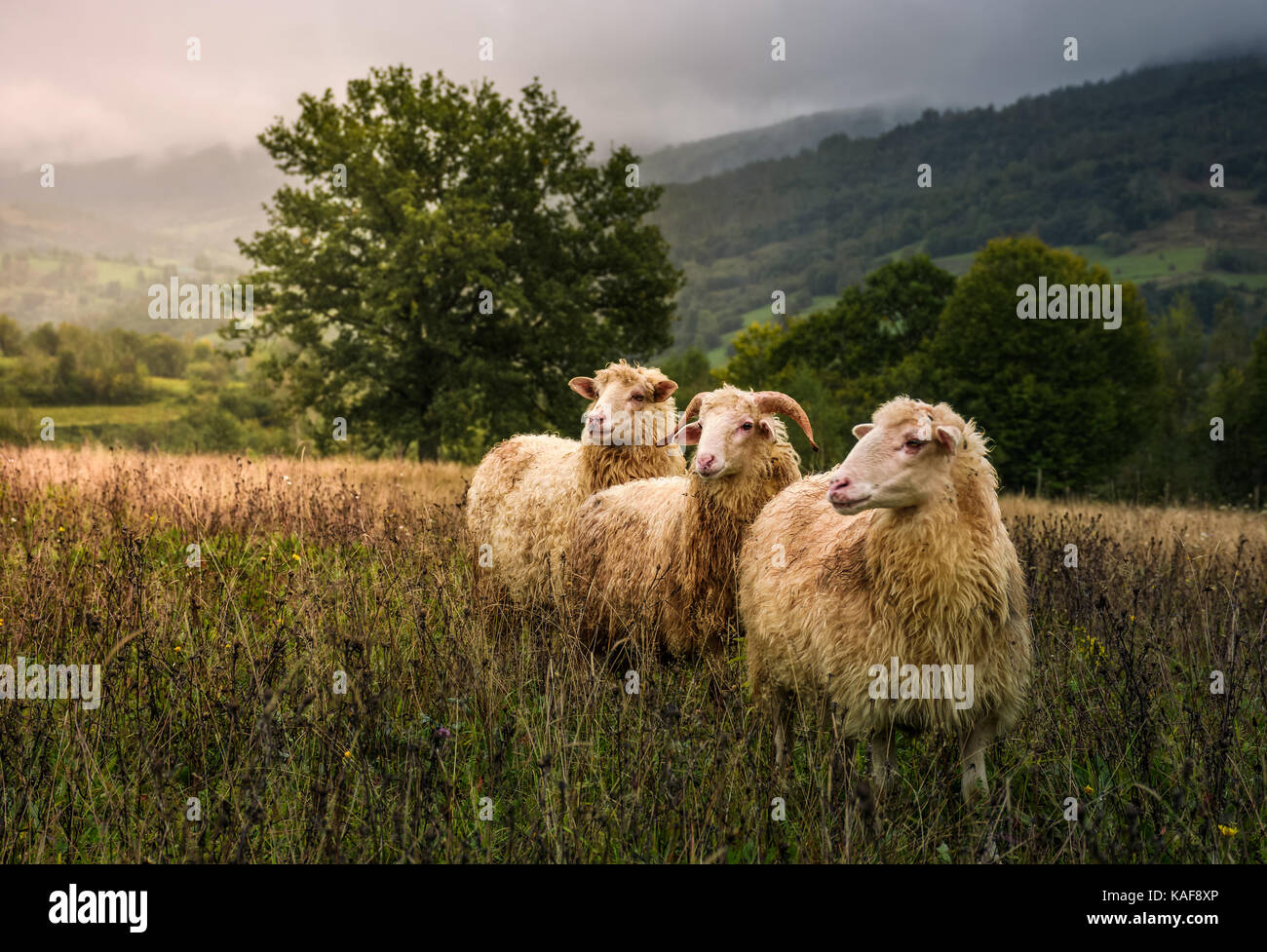 sheep grazing in a fog near old oak. beautiful scenery on rainy autumn day in mountainous rural area. three curious - Stock Image