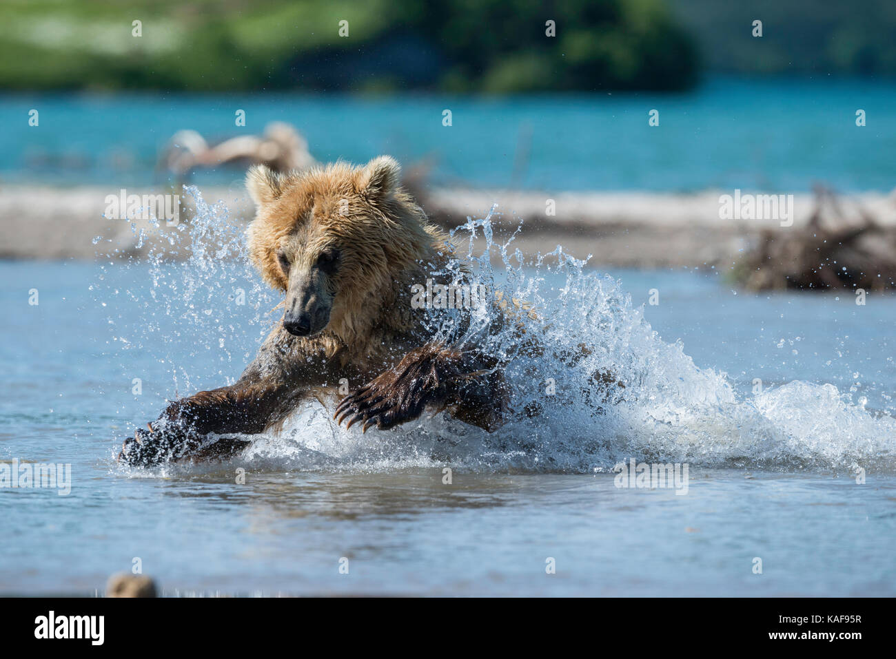 Brown bear pouncing on sockeye salmon, Kamchatka, Russia. - Stock Image