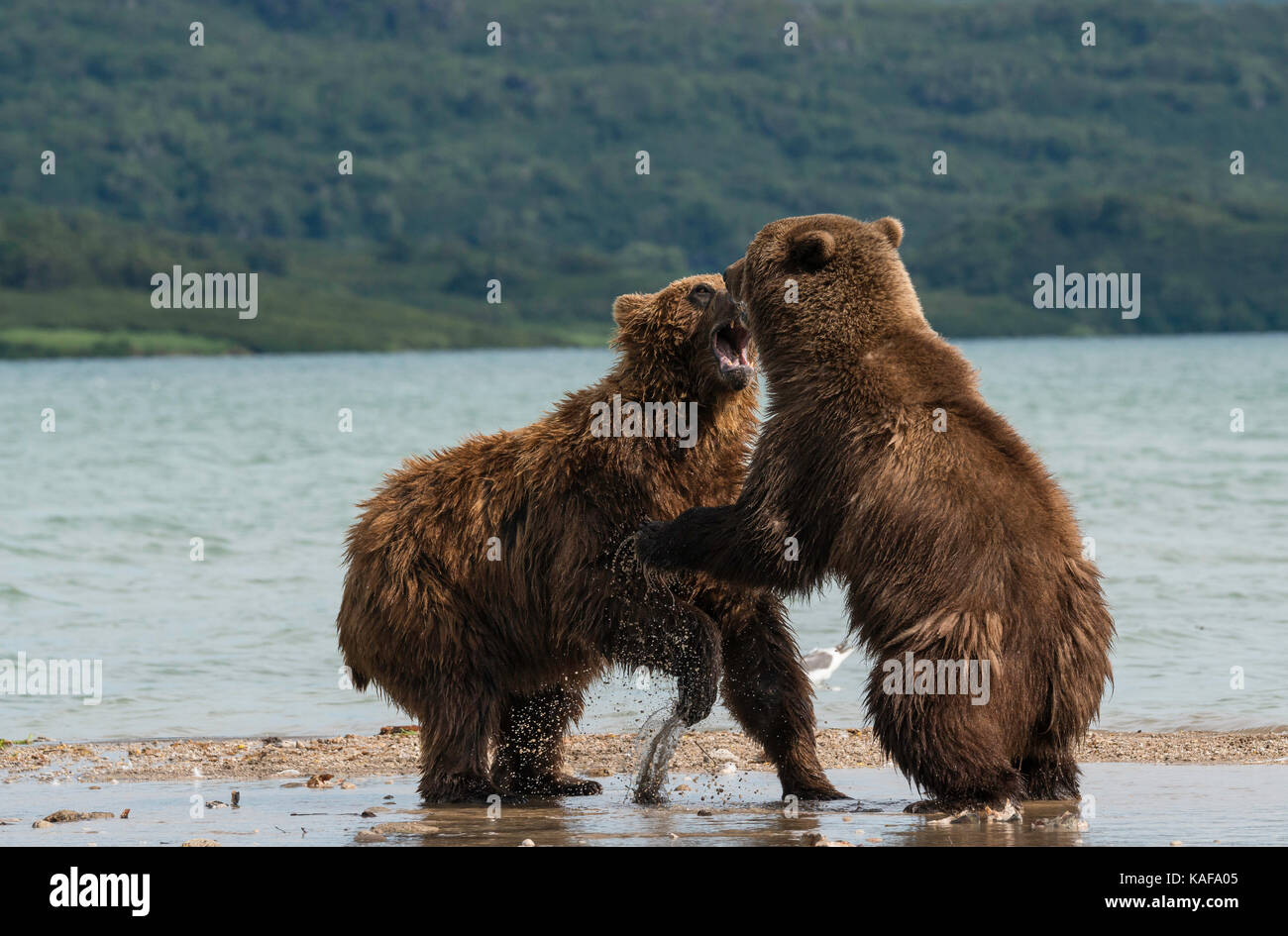 Two male brown bears fighting for dominance, Kuril Lake, Kamchatka, Russia. - Stock Image